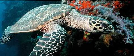 Hawksbill turtles live on coral reefs where their favourite food, sponges, are most plentiful, Fiji. rel=