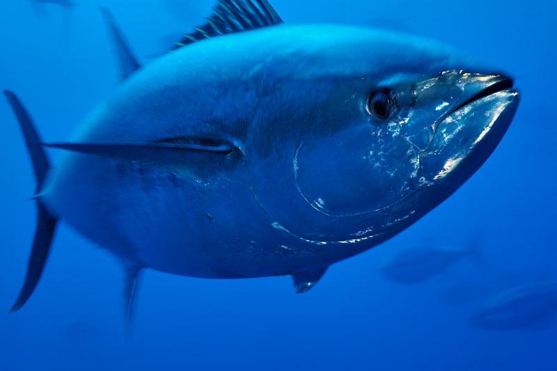 bluefin tuna in danger of extinction