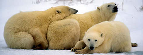 Polar Bears, female with cubs. Churchill, Manitoba Canada. rel=